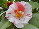 白、桃、紅、縦絞りなど五色に咲き分ける 一重 唐子咲きも混じる 中輪