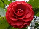 紅色 牡丹〜バラ咲き 大輪