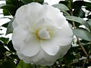 白色 千重咲き 中〜大輪