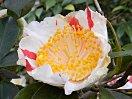 白色地 紅色の大小縦絞り 一重 平開咲き 花糸は白色 梅芯 中輪