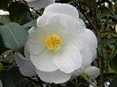 純白 八重 蓮華咲き 中・大輪