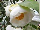 白色 八重咲き 中輪