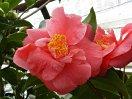 赤色 八重咲き 中輪 錦魚葉
