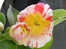 白〜淡桃色地 紅色大小縦絞り 一重 平開咲き 花糸黄白色 梅芯 大輪