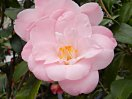 明るい桃色地底白 八重 蓮華咲き 小形の筒〜割りしべ 大輪