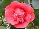 紅色 獅子〜牡丹咲き 弁波曲 大輪