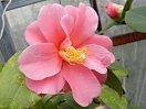 淡紅色 八重 蓮華咲き 中輪