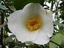 白色 一重咲き 小輪