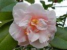 淡桃色 八重 牡丹咲き 中輪