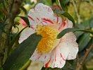 淡桃色地 紅色縦絞りと白覆輪 八重 蓮華咲き 小輪