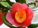桃紅色 一重 盃状咲き 極小輪 有香