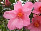 明藤桃色 八重 細長弁 チューリップ咲き 中輪