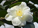 白色 八重 牡丹咲き 散りしべ 大輪