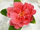 赤色 八重〜牡丹咲き 極大輪