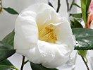 白色 八重咲き 極大輪
