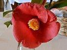 鮮紅色 一重 筒〜ラッパ咲き 筒しべ 中輪