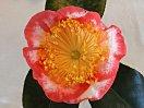 白色地 紅覆輪 ときに紅縦絞り 一重 平開咲き 花糸黄白色 梅芯 大輪