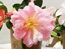 桃色 中心部がやや明るい 牡丹咲き 極大輪