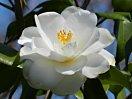 白色 八重 蓮華咲き 肉厚 筒しべ 中〜大輪