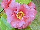 桃紅色 一重 肉厚 平開咲き 輪芯 旗弁もでる 大輪