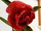 紅色 八重咲き 中〜大輪