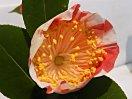 白地 紅縦絞り 一重 平開咲き 花糸白色 梅芯 大輪