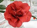 濃桃色 牡丹咲き 立ち上がり弁 大輪