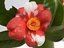 鮮紅色地 白斑入り 一重 盃状咲き 肉厚 ユキツバキ状芯 小輪 有香