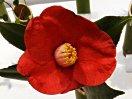 朱紅色 一重 椀咲き 肉厚 筒しべ 大輪 三倍体