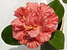淡桃色地 紅色の大小絞り 牡丹咲き 大輪