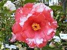 濃赤色 白斑入り 八重〜バラ咲き 大輪