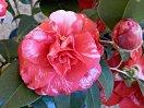 赤色地 白斑多数入り 八重咲き 中〜大輪