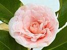 シルバーピンク 千重咲き 小・中輪