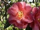 桃紅〜紅色 八重 蓮華咲き 筒しべ 大輪