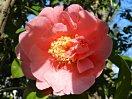 鮮やかなピンク、極大輪、ローズ咲き〜牡丹咲き