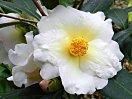 蕾は藤桃色 開花とともにクリーム白 中心部は黄色 八重 中輪