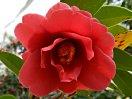 紅色 八重咲き 中輪