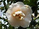 淡桃色 やや乱れた蓮華性の八重咲き 割しべ 中・大輪