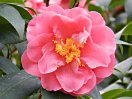 桃色 半八重咲き 雄しべが内弁の間に混在 大〜極大輪
