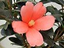 淡桃色 底紅 一重 小輪 7月より開花 四季咲き性