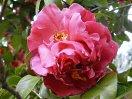 ピンク 八重咲き 大輪