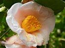 淡桃色 一重 椀咲き 筒しべ 大輪 蕾は丸い