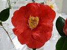 紅色 半八重咲き 大輪