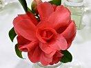 濃い桃色 牡丹咲き 時に立ち上がった鋸歯弁 大輪