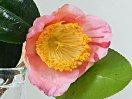 淡桃色地 紅縦絞りが僅かに入る 一重 盃状咲き やや輪芯 中輪