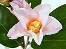 淡桃地に淡紅色ぼかし 一重 猪口咲き 侘芯 小輪
