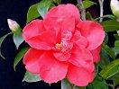 鮮紅色 八重 蓮華咲き 小輪