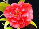濃紅色 牡丹咲き 雄しべは内弁と混在 中輪