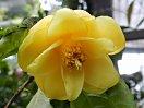 黄色 八重咲き 小輪