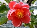 濃桃色〜紅色 八重 抱え〜椀咲き 中輪
